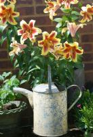 Lilium 'Nymph' growning against wall with metal watering can