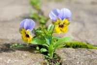 Viola cornuta self seeding in paving