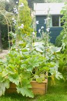 Veg bed with Lathyrus - Sweet Peas and Cucurbita - Courgette plants