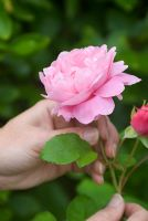 Picking Rosa 'Mary Rose'