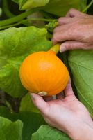 Picking Cucurbita - Squash 'Potimarron'
