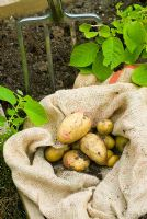 Digging up Solanum tuberosum - Potato 'Rocket'