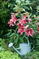 Lilium orientale - Lily with watering can