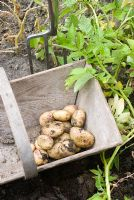 Potatoes 'Rocket' in wooden trug