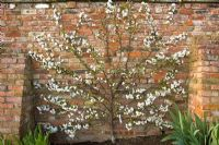 Prunus cerasus 'Morello' - Espaliered Morello cherry in blossom, fan trained against a brick wall