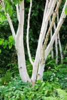 Betula utilis jaquemontii multi stem trees underplanted with ferns, Epimediums and Corydalis