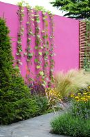 Ipomoea tricolor 'Heavenly Blue' trained up a pink painted wall, with Stipa tenuissima, Phormium, Salvia 'Caradonna', Helenium 'Wyndley', Lavandula 'Munstead' and clipped Taxus - Yew - 'Control the Uncontrollable Garden' - RHS Hampton Court Flower Show 2011