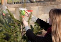 Woman buying Christmas Tree (Abies nordmanniana) in garden centre, checking label