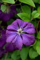 Clematis viticella 'Blue Bell'