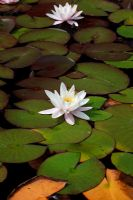 White water lily - Nymphaea