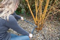 Pruning Cornus 'Midwinter Fire'