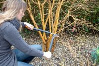 Pruning Cornus Midwinter Fire