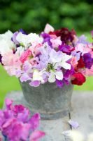 Lathyrus odorata - sweetpeas displayed in metal container