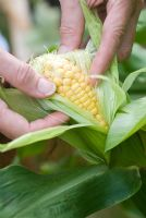 Checking sweetcorn for ripeness
