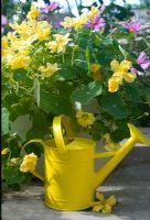 Nasturtium 'Double delight cream' with yellow watering can