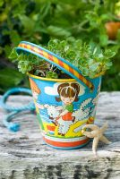 Sedum pluricaule in antique seaside bucket