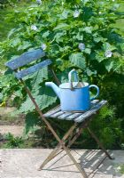 Nicandra physaloides - Shoo fly plant with painted blue chair and watering can