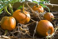 Cucurbita - Pumpkin 'Mars' ripening in vegetable bed