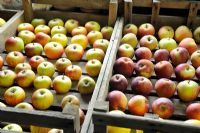 Storing various apple varieties in wooden trays, in frost free shed