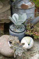 Echeveria and Sedum in Gordon Cooke stoneware and metal watering can
