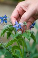 Picking Borage flowers