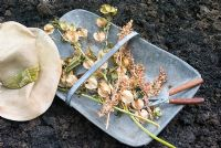 Collected seedheads of Nicandra physalodes - Shoo-fly plant and Atriplex hortensis var. rubra -Red Orache in old galvanised metal trug