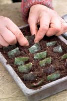 Taking leaf cuttings from a begonia using the leaf square method - Planting cuttings into compost