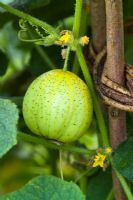 Cucumis sativus  - Cucumber 'Crystal Lemon' syn 'Crystal Apple' growing on a woven tepee