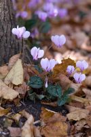 Cyclamen hederifolium amongst autumn leaves at the base of a tree. End of September