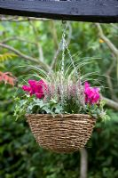 Hanging Basket with Cyclamen, Heather, Hedera - Ivy and Ornamental grass in autumn
