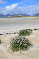 Cakile Maritima - Sea Rocket, growing on the beach at Horgabost, Isle of Harris, Outer Hebrides with views across the Isle Taransay