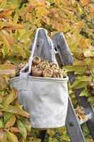 Mespilus germanica - Medlars in a rustic canvas bag on a wooden step ladder