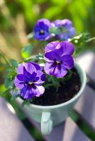 Purple Viola cornuta in tea cup