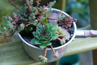 Sempervivum - Houseleeks and Sedum in old saucepan