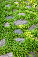 Cobbled stone path with Leptinella squalida