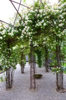 Rosa helenae 'Hybrida' on iron and steel supports - Wij Gardens, Sweden
