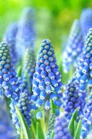Muscari 'Big Smile'