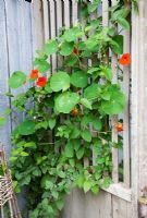 Tropaeolum - Nasturtiums on Trellis - La Laboratoire - 20th International Garden Festival, Chaumont sur Loire, France