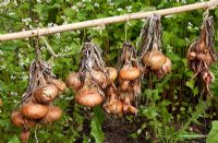 Drying onions in bunches on rail