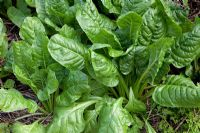Beta vulgaris - Everlasting Spinach