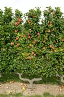 Malus 'Reine des Reinettes' - Espalier trained Apple tree