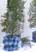 Ilex aquilfoliium 'Siberia' in tartan wrapped pot - Highfield hollies, Hampshire