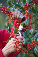 Girl in red jumper cutting Ilex aquifolium 'JC Van Tol'