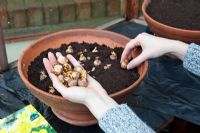 Planting bulbs in terracotta pot in greenhouse - planting Crocus 'Romance'