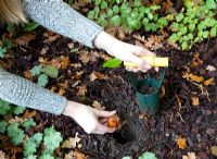 Planting bulbs in open ground - placing bulb in hole made by bulb planter