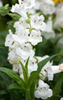 Penstemon Snowstorm