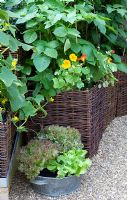 Wicker planters, with beans, nasturtiums and a metal container with lettuce