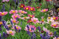 Cosmos 'Antiquity' with Lavandula 'Hidcote'