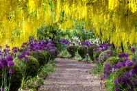 Laburnum tunnel underplanted with Alliums and topiary - The Dorothy Clive Garden