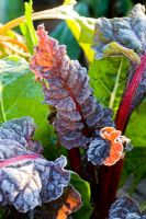 Frosted Beta vulgaris 'Bright Lights' - Swiss Chard